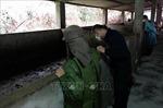 Dịch lở mồm long móng tiếp tục xuất hiện tại Quảng Ninh