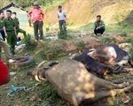 Trâu bò chết hàng loạt sau khi uống nước trong mỏ khoáng sản
