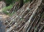 Doanh nghiệp cam kết mua hết mía cho nông dân Hậu Giang