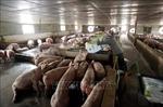Giá lợn dự kiến tiếp tục tăng nhưng sẽ không quá cao