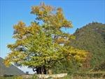 Khám phá bí quyết nghìn năm tuổi của cây bạch quả