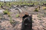 Yêu cầu trồng lại gần 2.200 ha rừng bị chặt phá, lấn chiếm tại Gia Lai