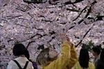 Hàn Quốc hủy lễ hội hoa anh đào