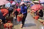 Mận Tam hoa vào vụ thu hút khách du lịch
