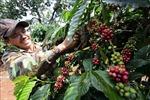 Thị trường nông sản tuần qua: Giá cà phê vượt 34.000 đồng/kg