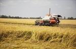 Thị trường nông sản tuần qua: Giá tiêu tăng khá