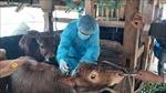 Không để bệnh viêm da nổi cục trên trâu bò lây lan diện rộng