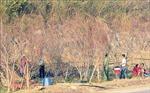 Thị trường đào trồng Sơn La ảm đạm