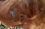 Triển khai quyết liệt các giải pháp phòng chống bệnh viêm da nổi cục trên trâu, bò