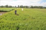 Nông dân Trà Vinh tăng thu nhập từ chuyển đổi lúa vụ 3 sang trồng màu