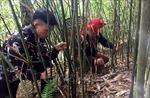 Phát triển măng thành cây đặc sản, xóa nghèo cho đồng bào vùng cao