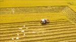 Thị trường nông sản tuần qua: Giá lúa ổn định, cà phê quay đầu giảm