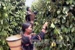Đắk Nông khuyến cáo không nên mở rộng diện tích trồng tiêu