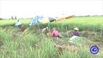 Giá sả thương phẩm tại vùng chuyên canh lớn nhất tỉnh Tiền Giang tăng trở lại
