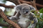 Gấu túi tại New South Wales có thể tuyệt chủng vào năm 2050