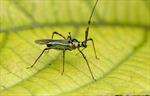 Bọ xít muỗi tấn công vùng cà phê đặc sản Arabica