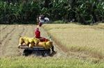 Sau chỉ đạo của Thủ tướng, doanh nghiệp vào cuộc thu mua lúa gạo