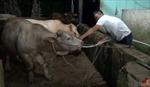 Bắt quả tang lò mổ bơm nước vào bụng bò trước khi đưa đi giết mổ
