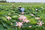 Nông dân Đồng Tháp trồng sen lãi gấp 2-3 lần trồng lúa