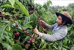 Nan giải bài toán nhân lực vào vụ thu hái cà phê tại Kon Tum
