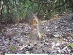 Hành trình 'săn' loài Cheo cheo lưng bạc nghi tuyệt chủng
