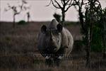 Nỗ lực cứu loài tê giác đen
