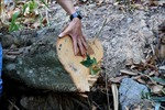 Bắt quả tang ba đối tượng cưa hạ hàng loạt cây rừng tại Đà Lạt