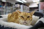 Mèo của bệnh nhân mắc COVID-19 cũng dương tính với virus SARS-CoV-2