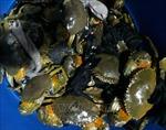Cua biển nuôi vụ đầu năm được giá