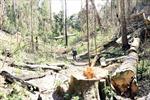 Bạch tùng hàng trăm năm tuổi bị khai thác trái phép bừa bãi trong rừng tự nhiên