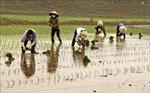 Gần 59% diện tích đã có nước gieo cấy vụ Đông Xuân