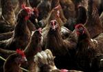 Bùng phát cúm gia cầm H5N1 tại Italy