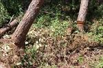 Chỉ đạo điều tra vụ chặt hạ gỗ hương quý hiếm tại Kbang, Gia Lai