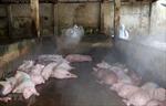 Dịch tả lợn châu Phi vẫn tiếp tục lây lan