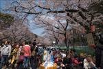 Nhật Bản hủy tiệc ngắm hoa anh đào năm 2020