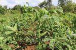 Khuyến cáo nông dân phòng bệnh khảm lá sắn đang hoành hành
