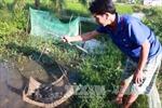 Giúp nông dân khôi phục nguồn lợi cá đồng U Minh Thượng