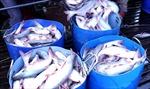 Giá cá tra nguyên liệu tăng liên tục