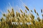 Tạm thời chưa tái xuất lúa mì nhiễm cỏ kế đồng từ 1/11