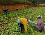 Lâm Đồng hỗ trợ hơn 6.000 tấn nông sản cho các tỉnh bị dịch COVID-19