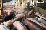 Xử lý nghiêm vận chuyển thịt lợn không rõ nguồn gốc