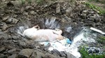 Phú Yên xuất hiện ổ dịch tả lợn châu Phi đầu tiên