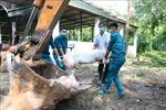 Các địa phương ứng phó với dịch tả lợn châu Phi lây lan nhanh