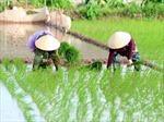 Long An trồng 20.000 ha lúa ứng dụng công nghệ cao