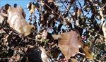 Sơn La khắc phục thiệt hại do sương muối trên cây cà phê