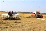 Lúa Đông Xuân được mùa, được giá
