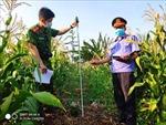 Phát hiện nhiều điểm trồng cây cần sa trái phép tại Chư Sê