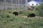 Ngày động vật hoang dã thế giới 3/3: Nơi những cá thể gấu được về với tự nhiên