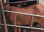Quảng Trị tập trung kiểm soát dịch bệnh viêm da nổi cục trên trâu bò