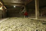 Phát triển nghề trồng dâu, nuôi tằm ở Trấn Yên, Yên Bái